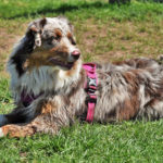 Magic-chien-bergers-australiens-elevage-grand-est-lorraine-metz-thionville-nancy