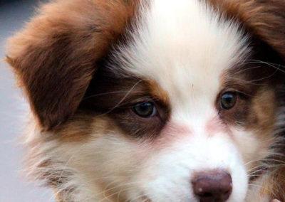 Meije-chien-bergers-australiens-elevage-grand-est-lorraine-metz-thionville-nancy