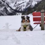 Mouki-chien-bergers-australiens-elevage-grand-est-lorraine-metz-thionville-nancy