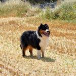 Naico-chien-bergers-australiens-elevage-grand-est-lorraine-metz-thionville-nancy