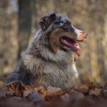 Noisette-chien-bergers-australiens-elevage-grand-est-lorraine-metz-thionville-nancy