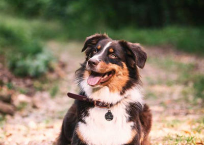 Oz-chien-bergers-australiens-elevage-grand-est-lorraine-metz-thionville-nancy