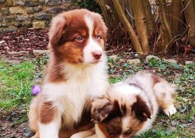 Ragnar-chien-bergers-australiens-elevage-grand-est-lorraine-metz-thionville-nancy