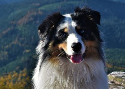 Waarmy-chien-bergers-australiens-elevage-grand-est-lorraine-metz-thionville-nancy