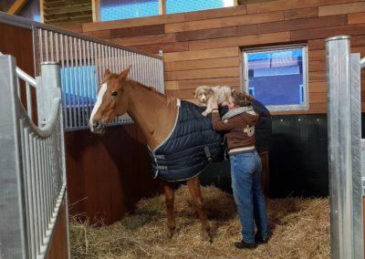 chiot-berger-australien-cheval