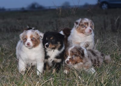 chiots-bergers-australiens-achat-lof-elevage-moselle