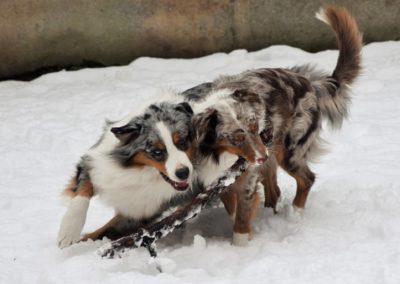 elevage-chiens-bergers-australien-alsace-lorraine-familial (12)