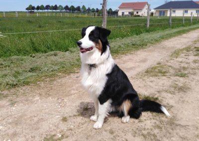 elevage-chiens-bergers-australien-alsace-lorraine-familial (3)
