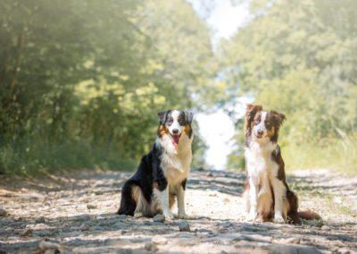 elevage-chiens-bergers-australien-alsace-lorraine-familial (4)