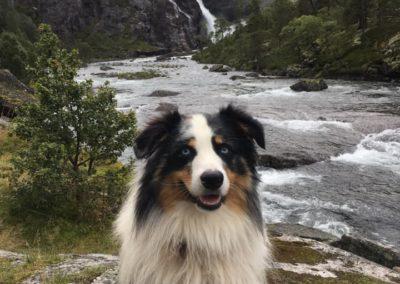 elevage-chiens-bergers-australien-alsace-lorraine-familial (6)