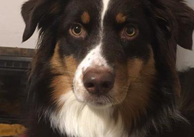 elevage-chiens-bergers-australien-alsace-lorraine-familial (8)