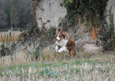 achat-berger-australien-tour-brune-elevage-lorraine-metz-thionville (4)