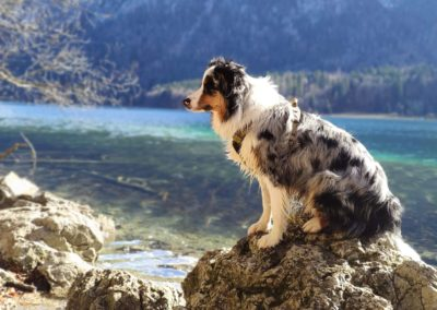 chien-berger-australien-elevege-tour-brune-metz2