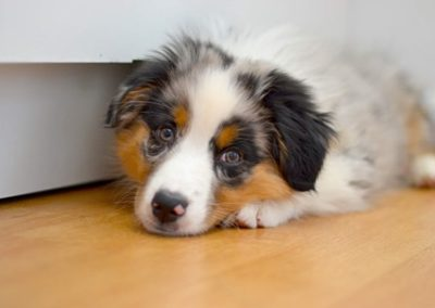 chien-berger-australien-elevege-tour-brune-metz233