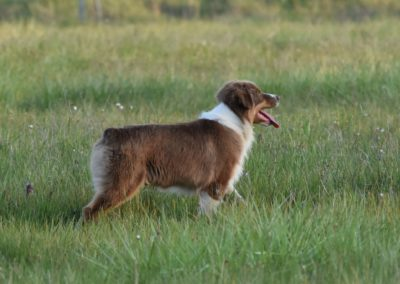 elevage-bergers-australiens-tour-brune-meurthe-moselle-lorraine-grand-est5